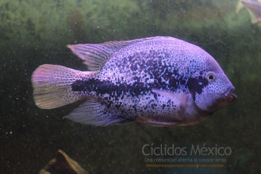 Vieja sp Coatzacoalcos Ciclidos_Mexicanos_024