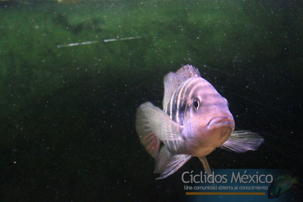 Mis cíclidos Mexicanos (1-4-2017) IMG_7875