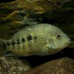 Herichthys tamasopoensis (Artigas Azas, 1993)