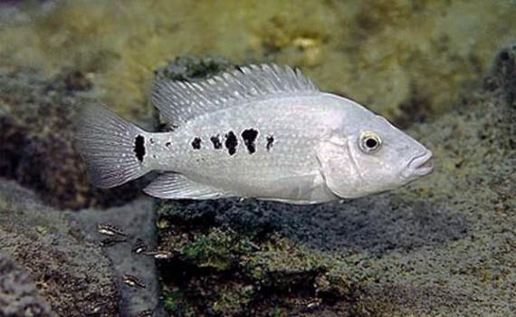 [Imagen: Herichthys-minckleyi-Female-1-570x350.jpg]
