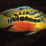 Trichromis salvini (Günther, 1862)
