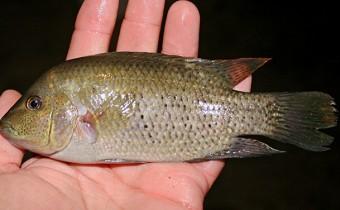 Herichthys molango (de la Maza-Benignos, 2013)