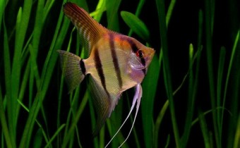 Pterophyllum_scalare_-_'Rio_Nanay'_-_souche_sauvage_-_Aqua_Porte_Dorée_06