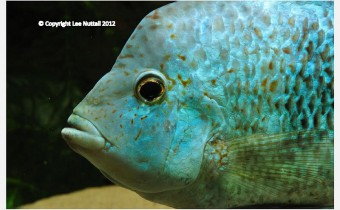 Herichthys tepehua (De la Maza-Benignos, 2014)