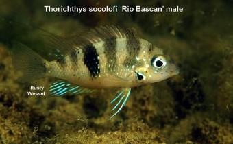 Thorichthys socolofi (Miller & Taylor, 1984)