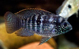 akara-blekitna-ryba-akwariowa-akary-blekitne-ryby
