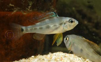 Biotoecus-Tapajos-female