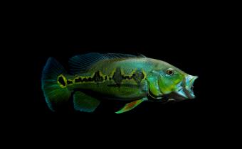 cichla-orinocensis-800