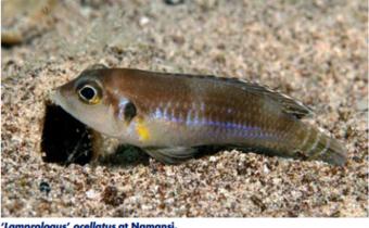 lamprologus-ocellatus