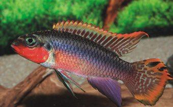 pelvicachromis-taeniatus-ni_mje3mtezof8ymtcxmtm4wg