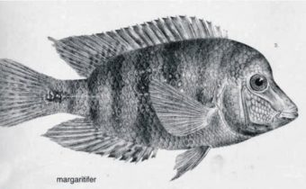 amphilophus-margaritifer