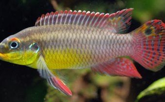 pelvicachromis-taeniatus_male