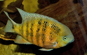 Cichlasoma-bocourti-Theraps-bocourti-Chiseltooth-cichlid-Herichthys-bocourti-Neetroplus-bocourti-Theraps-bocourti-ciclide-americane