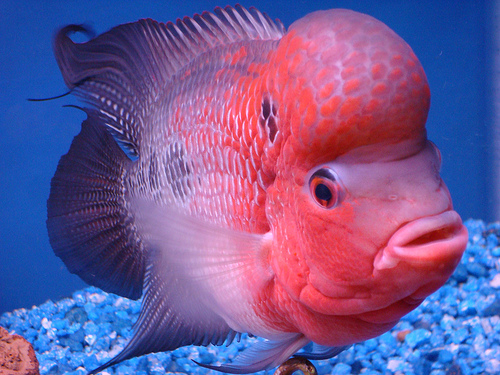 عکس ماهی فلاور هورن ماده