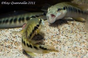 Crenicichla-sp-Belly-Crawler-03