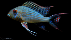 geophagus-altifrons-fish-500x500
