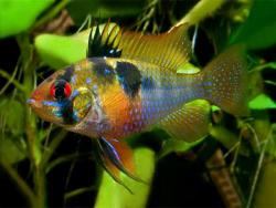 Mikrogeophagus-ramirezi-«Holland»