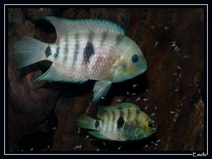 septemfasciatus-couple-3