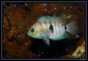 septemfasciatus-femelle-3
