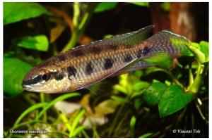 dicrossusmaculatusrelaxed
